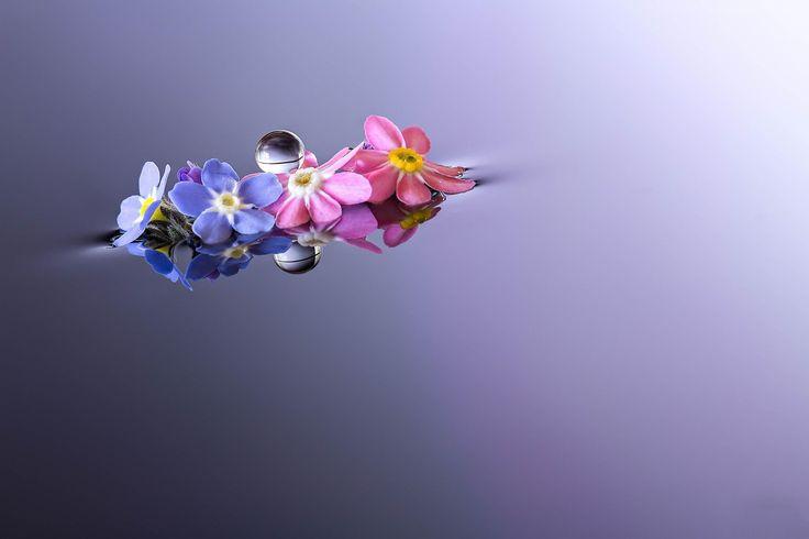 Kwiaty, Niezapominajka, Prymulka, Kropla, Odbicie, Makro