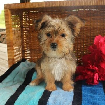 Shorkie Tzu puppy for sale in GAP, PA. ADN-42411 on PuppyFinder.com Gender: Female. Age: 15 Weeks Old