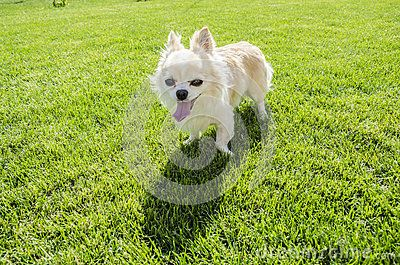 Small white chihuahua on the green lawn.