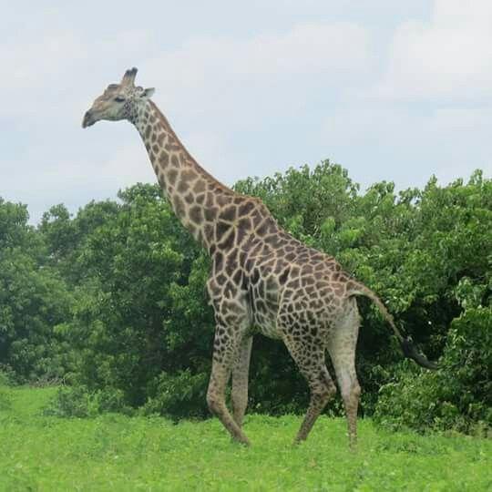 A Giraffe cruising through Umfolozi.