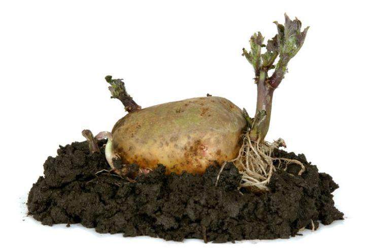 wann ist die beste zeit kartoffeln zu pflanzen. Black Bedroom Furniture Sets. Home Design Ideas