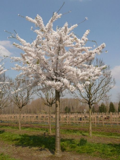 Prunus yedoensis #flowering #tree #trees www.vdberk.co.uk