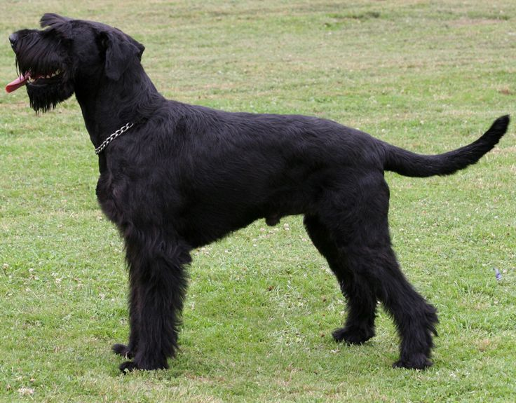 Carácter de los perros de la raza schnauzer gigante