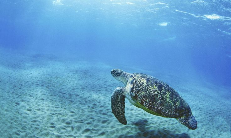 Facts about sea turtles. Photo: sea turtle swimming