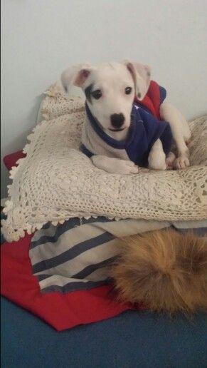 Terrier chileno cachorro goku