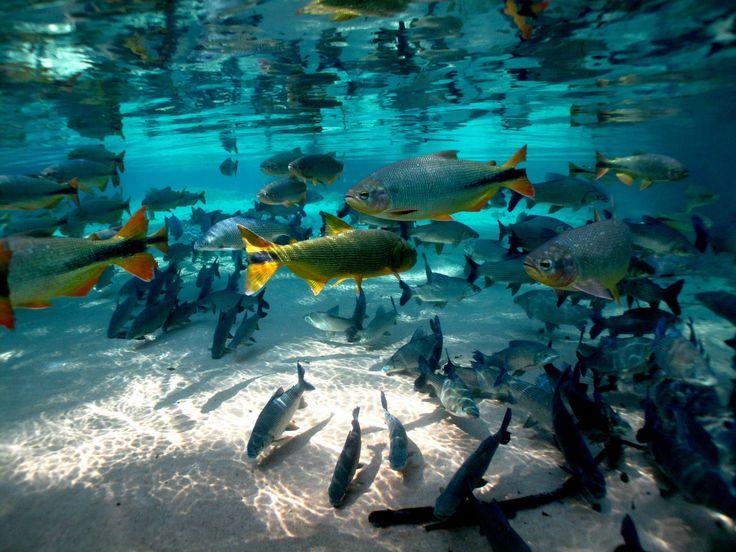 Bonito - Peixes 15