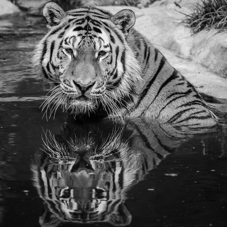 Tiger B&W by Luboš Dufek on 500px