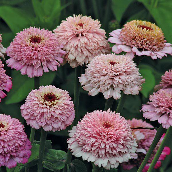 Zinnia Zinderella Lilac Seeds