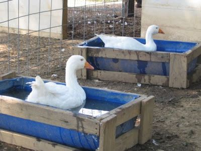 half barrel duck pools -#thanesneckfarm.blogspot