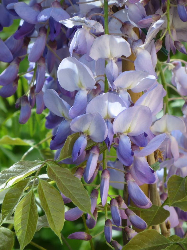 Wisteria sinensis – a vigorous, deciduous twining climber, suitable for growing on trellises, pergolas, and walls; also it can be trained as a standard – and the examples I have seen, …