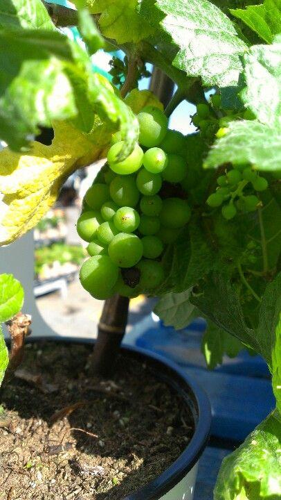 Mini grapes :p