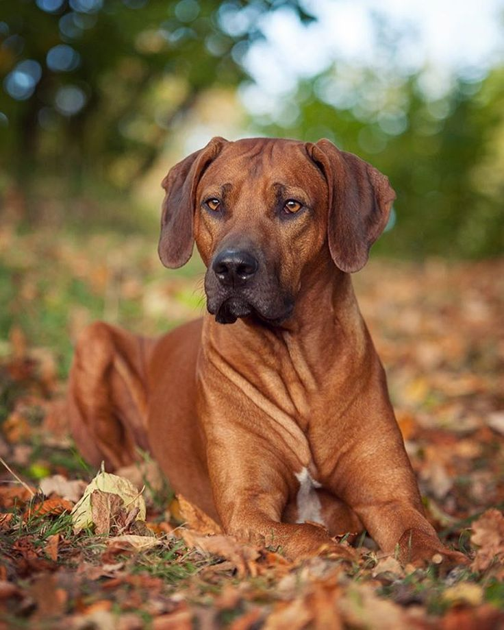 262 besten rhodesian ridgebacks dogs bilder auf pinterest sch ne hunde rhodesian ridgeback. Black Bedroom Furniture Sets. Home Design Ideas