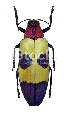 Exotic jewel beetle Chrysochroa buqueti from Thailand Royalty Free Stock Photo