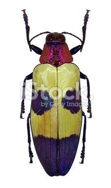 Exotic jewel beetle Chrysochroa buqueti from Thailand Royalty Free Stock Photo