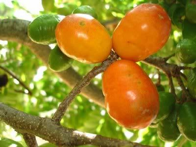 Siriguela #fruits #brazil