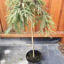 """Dieser Hochstamm Urwelt-Mammutbaum ( Metasequoia glyb. """" Miss Grace """" wurde auf einem 60 cm Stamm veredelt. Seine hängende Triebe können durch Schnitt über die Jahre in die gewünschte Form..."""