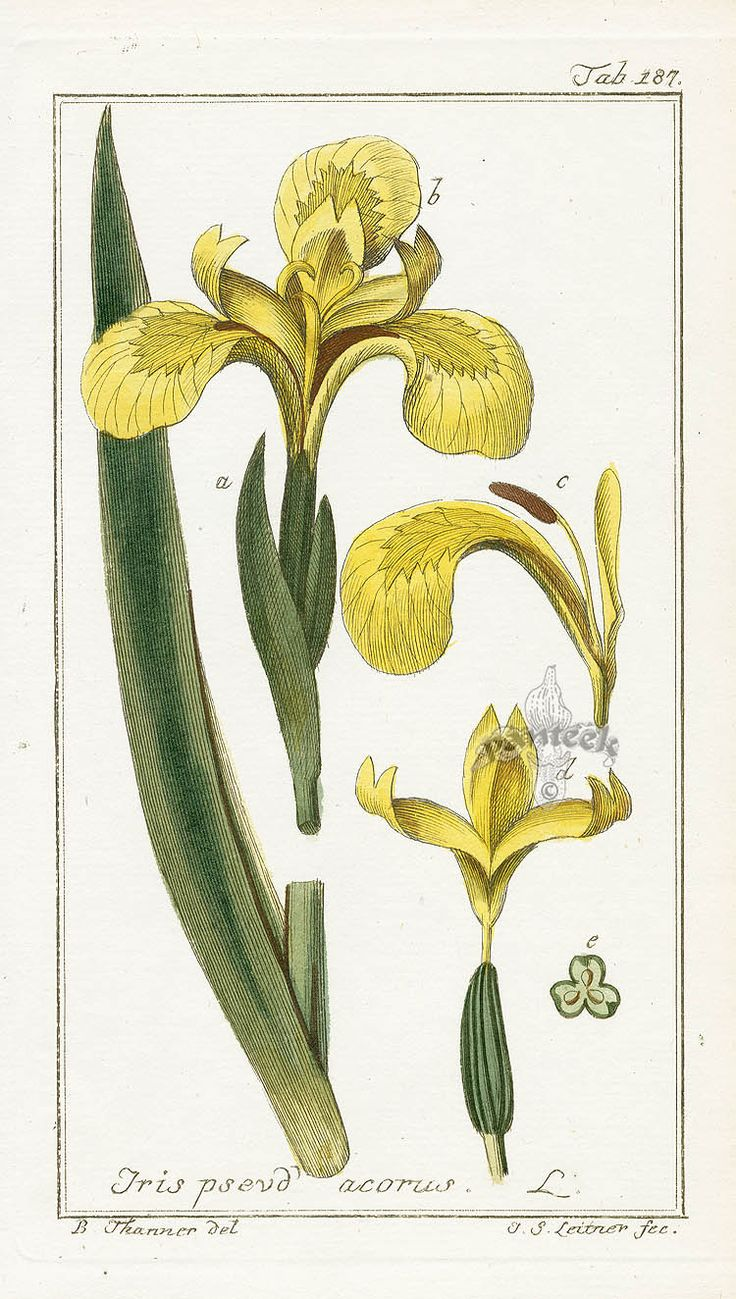 Iris pseudacorus - Johannes Zorn, Icones Plantarum Medicinalium 1779