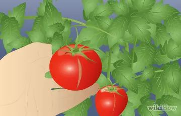 How to Grow Cherry Tomatoes - wikiHow