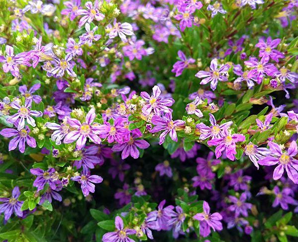 planta forração falsa érica fácil de cuidar 1