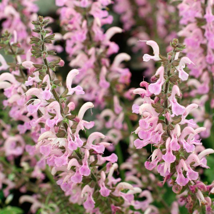 Salvia-pratensis-Pink-Delight.jpg (1500×1500)