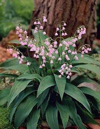 Hyväntuoksuinen ja sirokukkainen jalokielo on mainio kasvi varjoisille ja kosteille kasvupaikoille esim. puiden ja pensaiden aluskasviksi. Kielo leviää sitkeän ja pitkän juurakkonsa avulla, joka pystyy tunkeutumaan kovaankin maahan. Kasvi on myrkyllinen.    Kukinta: touko-kesäkuu  Kasvukorkeus: 20-30 cm  Kasvupaikka: puolivarjoinen, varjoinen