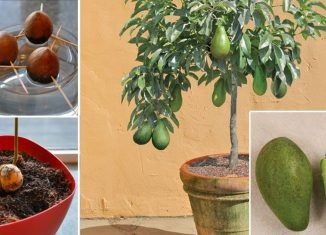 Stop Buying Avocados. You Can Grow an Avocado Tree in a Small Pot at Home! Heres How