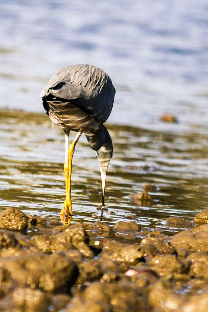 White Faced Heron - Brisbane, Australia - Zac Harney Photography