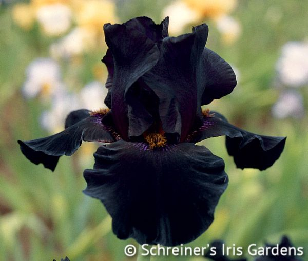 Old Black Magic combines coal black color with mysterious yellow beards. Although smaller flowered, it makes up for size by producing a plethora of buds (8-12 per stem). Add...