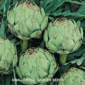 How to Plant ARTICHOKE Seeds For really big, heavy blooming plants, start seed indoors in 4 inch containers, 5-6 weeks before the last spring frost. Plant only your best seedlings into the garden 3 feet apart. About 20% of the seedlings will be of low vigor and should be discarded. In zones 7 and above, artichoke plants may also be started from seeds, from late spring through late summer, for large, productive plants the following season.