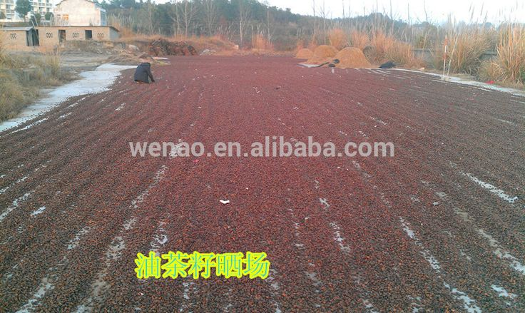 Camellia sinensis seeds, Touch healthy supply Tea Tree seeds, Camellia Oleifera Seed
