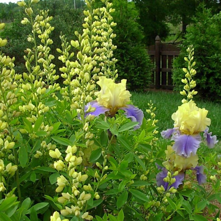 """Bearded Iris """"Edith Wilford"""" with Baptisia """"Prairie Blues"""" in the background"""