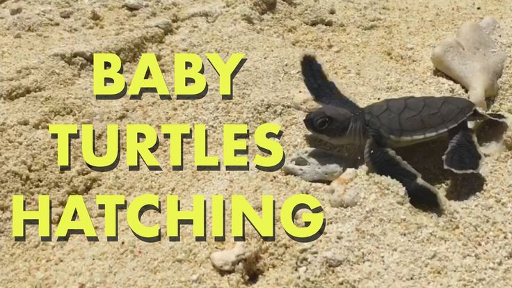 You don't know love until you've watched baby sea turtles hatch and race to the sea [OC] https://youtu.be/zn14zpOTWlA