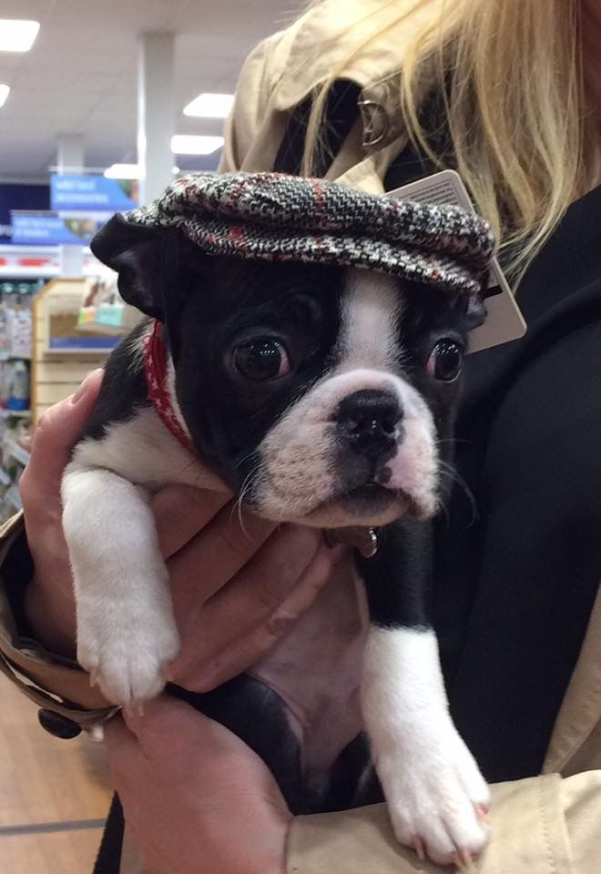 It's a Boston in a grandpa hat!!! I love him!