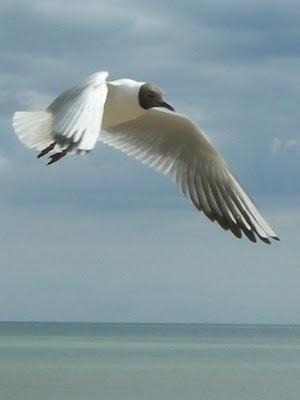 Black Headed Gull (Larus ridibundus), Winchelsea Beach, East Sussex, UK