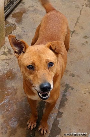 Indian street dog, VSPCA Zero Rabies program