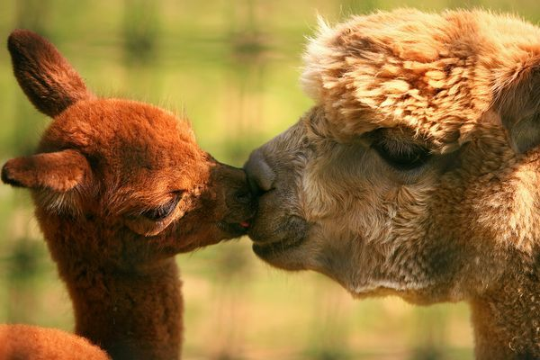 Alpacas: A Kiss, Cute Baby, Baby Llamas, Animal Photo, National Geographic, Burning Flames, Alpacas, Baby Animal, Sweet Kiss