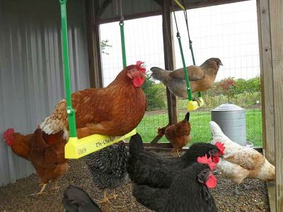 Apparently chickens like swings! Here is a tutorial to make a wooden one.