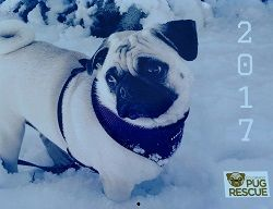 2017 Calendar - Colorado Pug Rescue