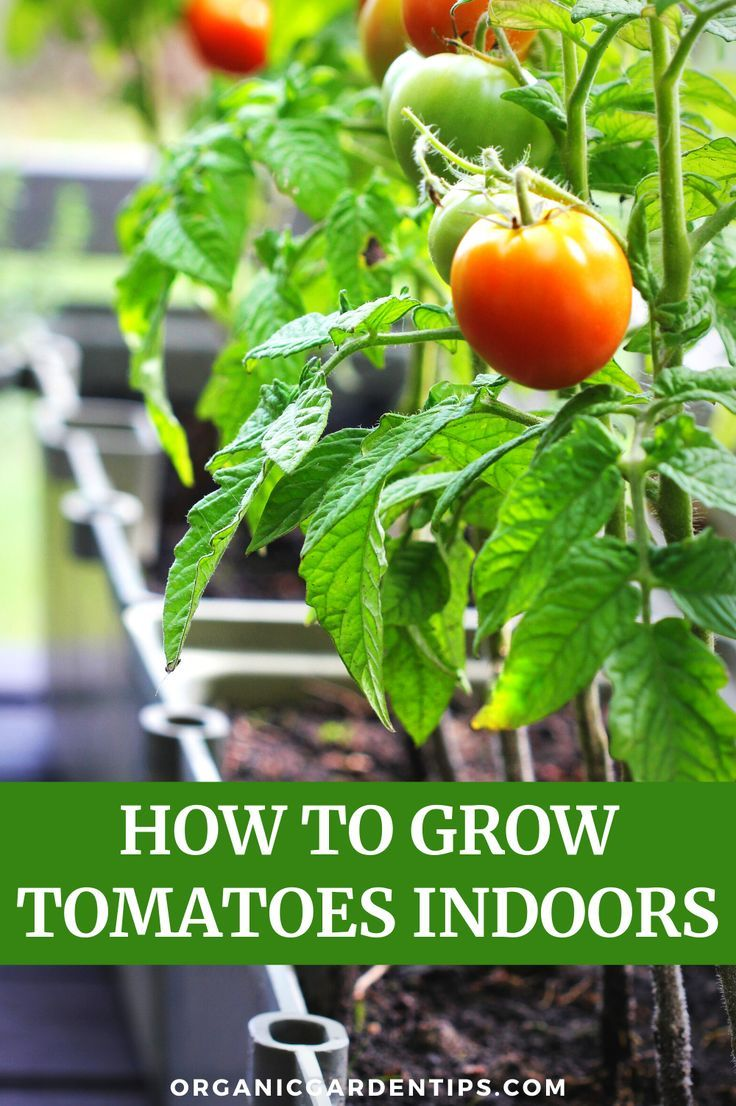 34++ When to start tomatoes indoors ideas