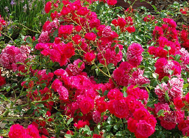 Le rosier couvre-sol se taille en hiver pour les variétés anciennes, mais à la fin de l'hiver pour les variétés hybrides, plus fragiles.