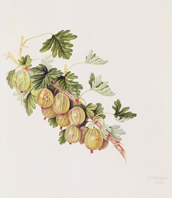 William Hooker, Green Gooseberry