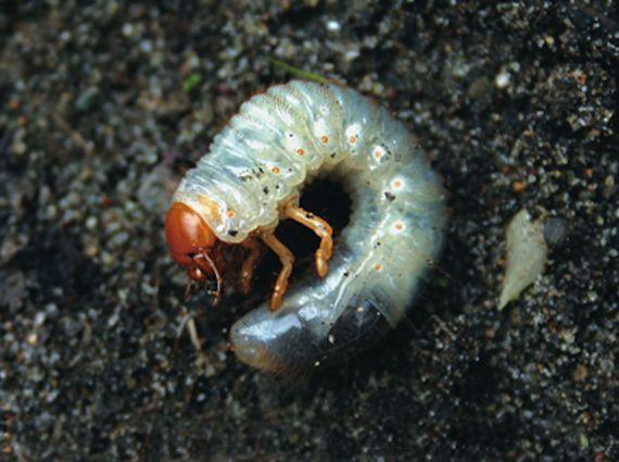 Ils se cachent sous le gazon, se nourrissent de racines et causent d'importants…