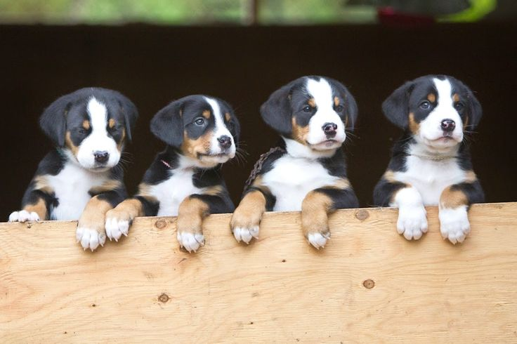 Great Swiss Mountain dog puppies!! Puppy LOVE!!! These sweeties are so cute!!!
