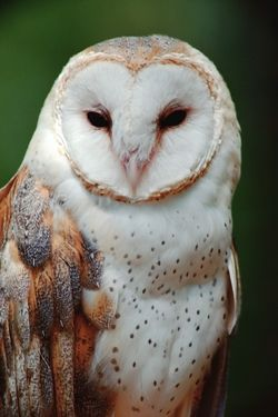 DID YOU KNOW...? Owls range in size from the tiny Elf Owl, only 5.5 inches tall, to the huge Gray Owl of North America, which stands more than 2 feet high! (Shown here: Barn Owl). Get more owl facts and pics on The National Audubon Society page.