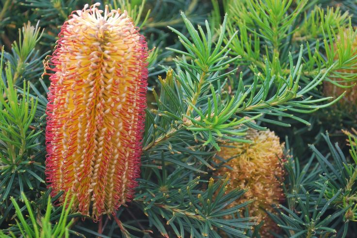 Banksia Cherry Candles --- For more Australian native plants visit austraflora.com