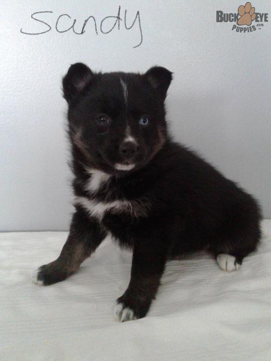 pomsky #pomskypuppy #pomskydog #Charming #PuppiesOfPinterest