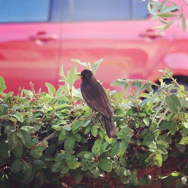 Eurasian blackbird <Auckland, New Zealand> クロウタドリ <ニュージーランド オークランド> #newzealand #auckland #blackbird #ニュージーランド #オークランド #クロウタドリ #ツグミ