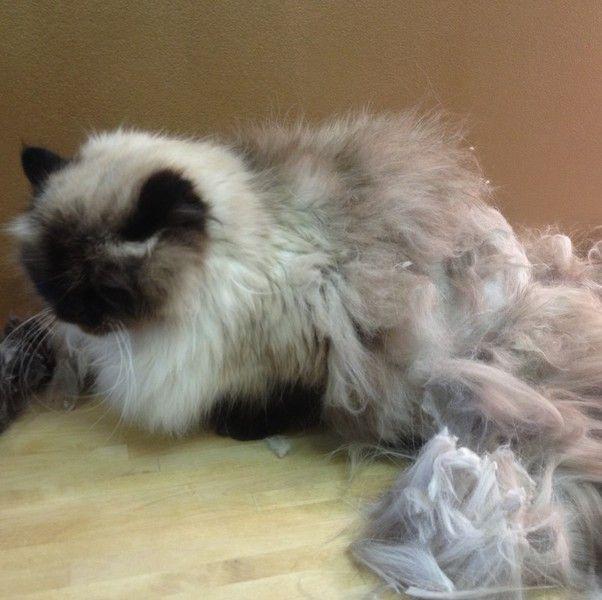 Pin On Cat Hair Cuts
