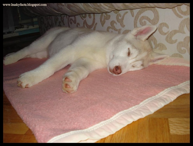 funny husky pictures,  siberian husky, siberian husky puppy, husky, husky puppy, sleeping dog, dog, funny dog, funny pictures