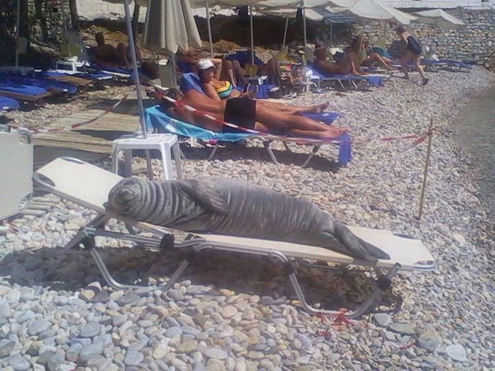 Argyro, the two-year old monk seal, is back at the beautiful beaches of Samos island, #Greece!